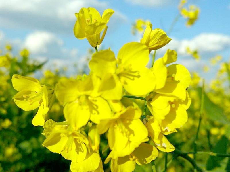長命草(ボタンボウフウ)が育つ喜界島 菜の花畑