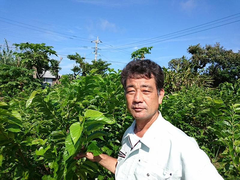 喜界島 桑の葉