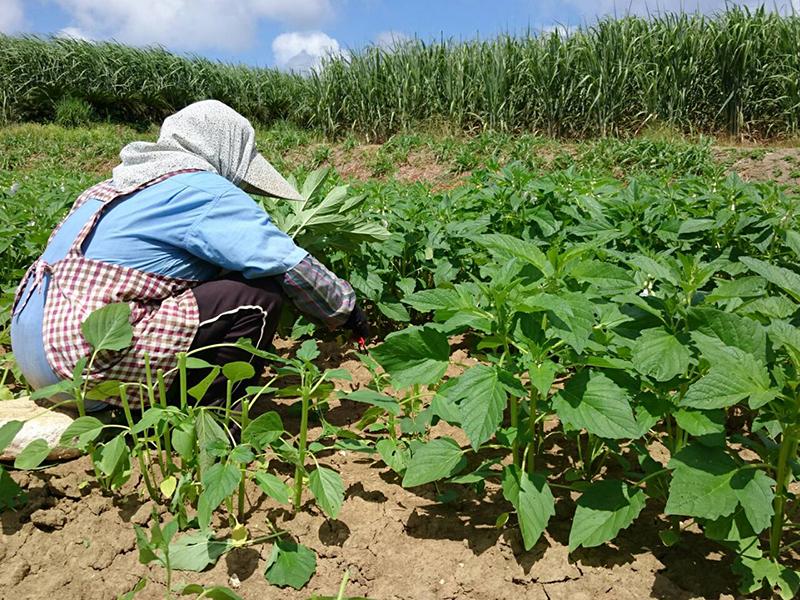 喜界島 国産 ごま若葉 収穫