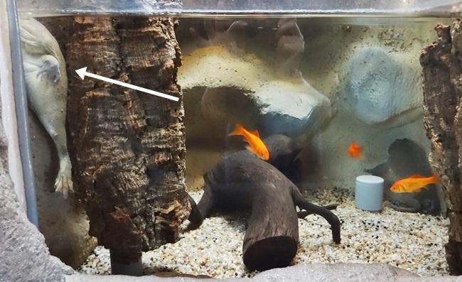 鳥羽水族館 バジェットガエル おもしろ