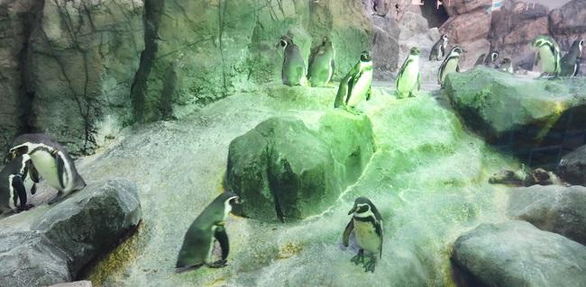 鳥羽水族館 フンボルトベンギン