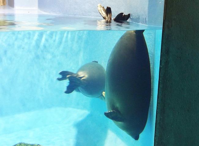鳥羽水族館 バイカルアザラシ