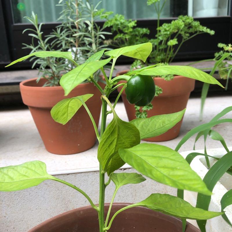 コンクリ製の階段に奥にパセリの鉢植え、手前にピーマンの鉢植え。ピーマンは実がなっている。