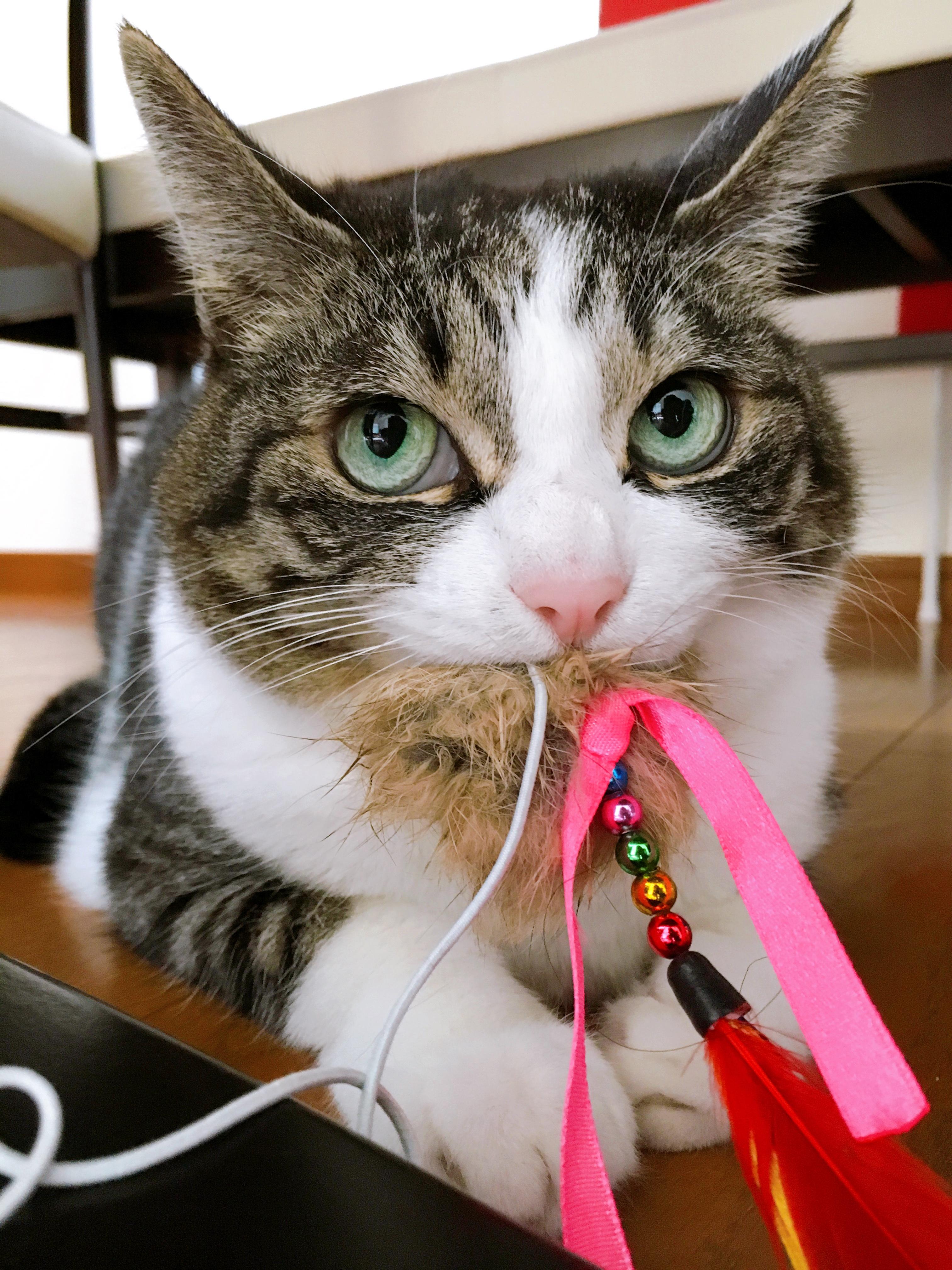 猫がおもちゃを咥えている写真