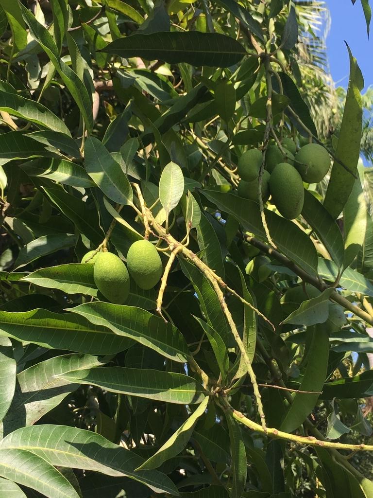 木になる小さなマンゴー