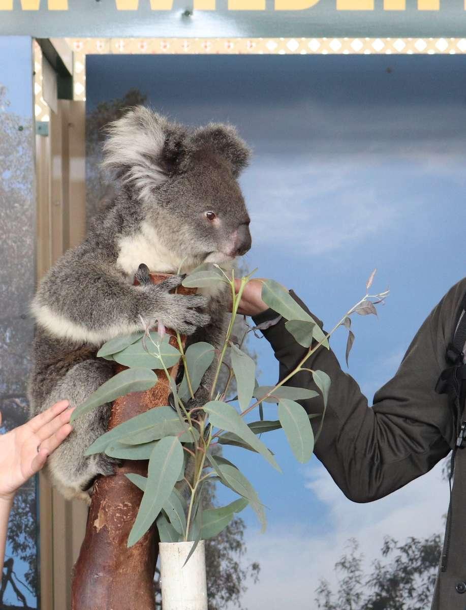 コアラとの写真撮影