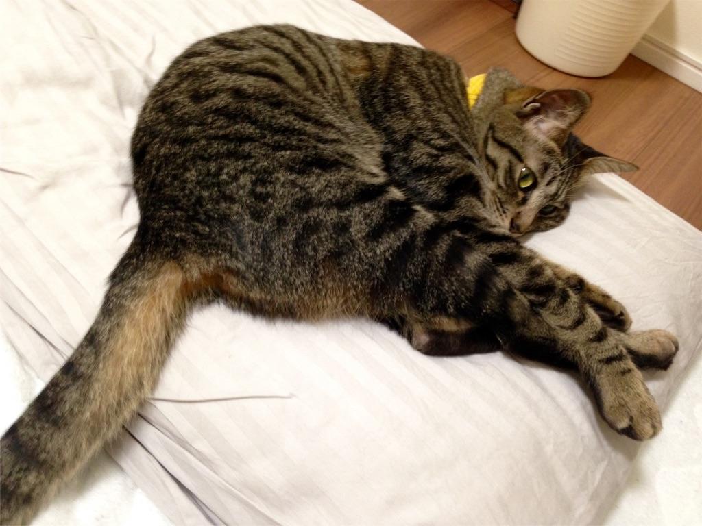 枕に寝そべる猫キジトラ女子