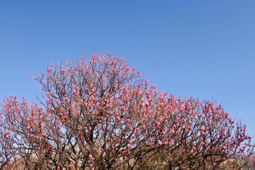 舞鶴公園 紅梅 梅の木