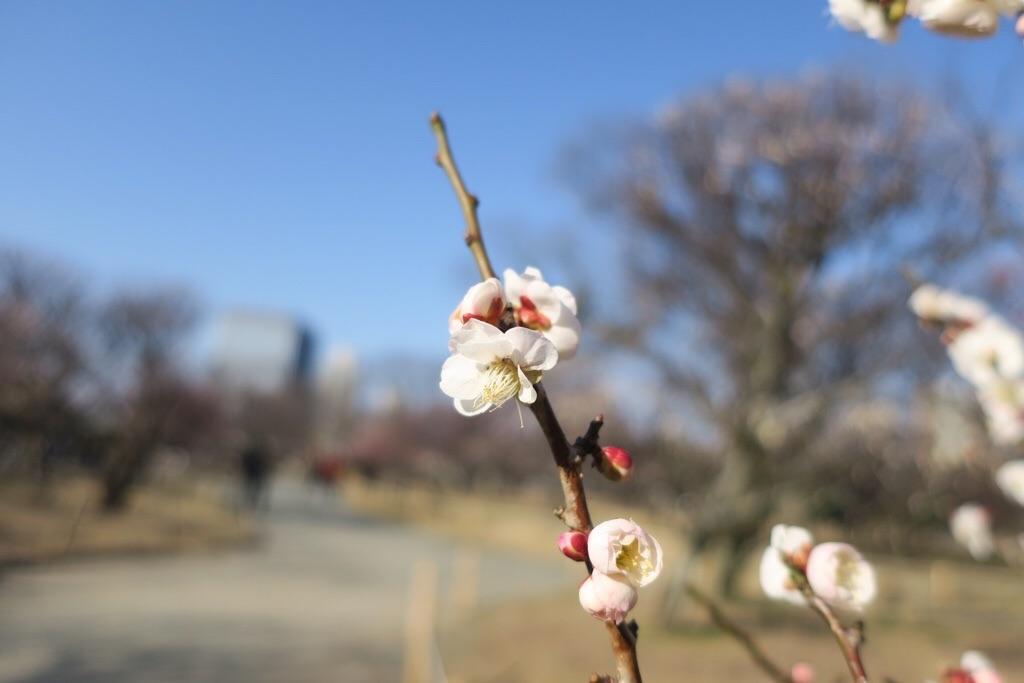 舞鶴公園の白梅