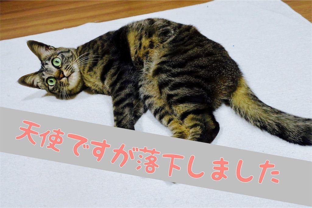 寝転がる我が家の猫
