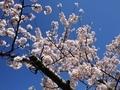 桜西部緑地公園5