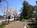 桜西部緑地公園2