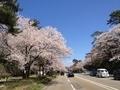 桜兼六園2