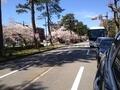 桜兼六園1