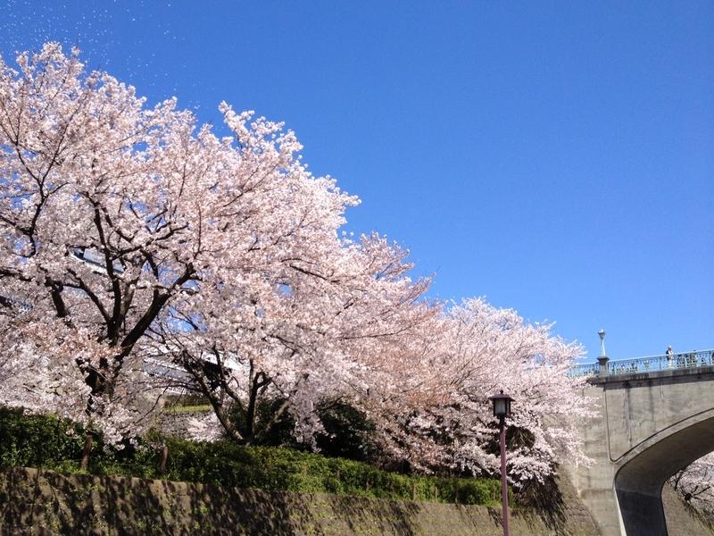 桜兼六園8