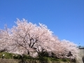 桜兼六園7