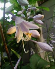 【アドエスphoto】ユリっぽい花