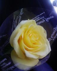 父の日に黄色のバラ