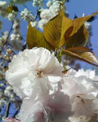 【アドエスphoto】もっと桜餅