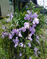 【アドエスphoto】風に揺れる紫の花