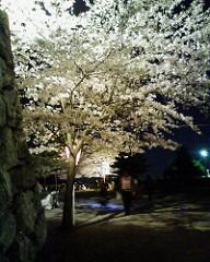 松阪城の夜桜