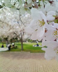 鈴の森公園の桜も見頃です
