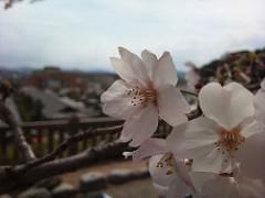 #xperia 松阪公園(松阪城)の桜