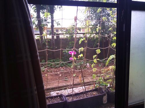 アサガオのグリーンカーテン、今年は失敗かも