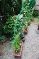 緑のカーテン 苗植栽 1ケ月経過 6/29 朝顔一輪