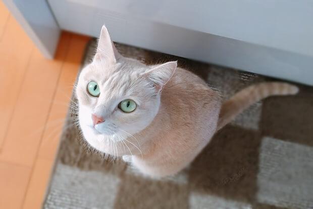 フライパンりんごケーキ完成を待つ猫の画像