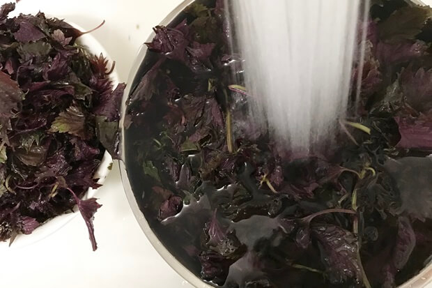 紫蘇を水で洗う