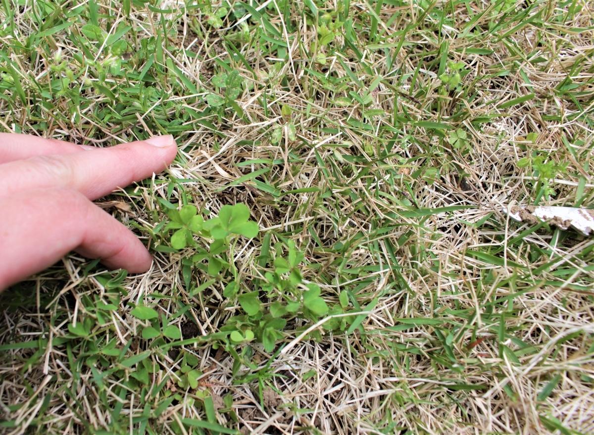 芝生とカタバミ
