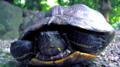 熱田神宮と亀2