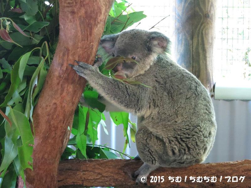 可愛いコアラ