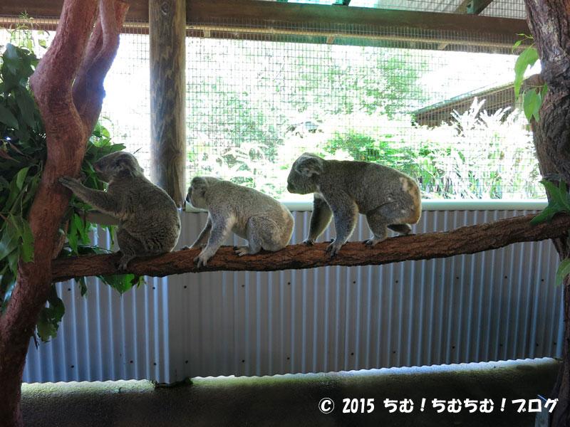 3連続きのコアラ