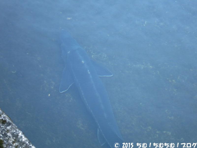 大きいチョウザメ