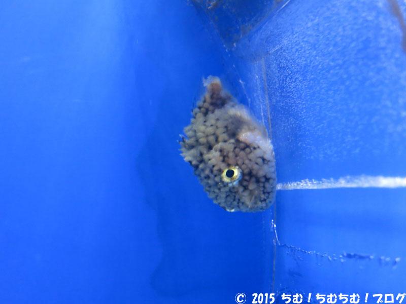 こんぺいとうの魚