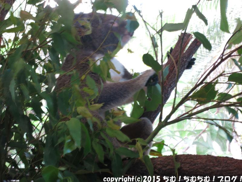ケアンズドームのコアラ