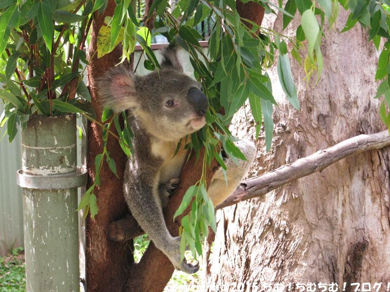 可愛らしいコアラ