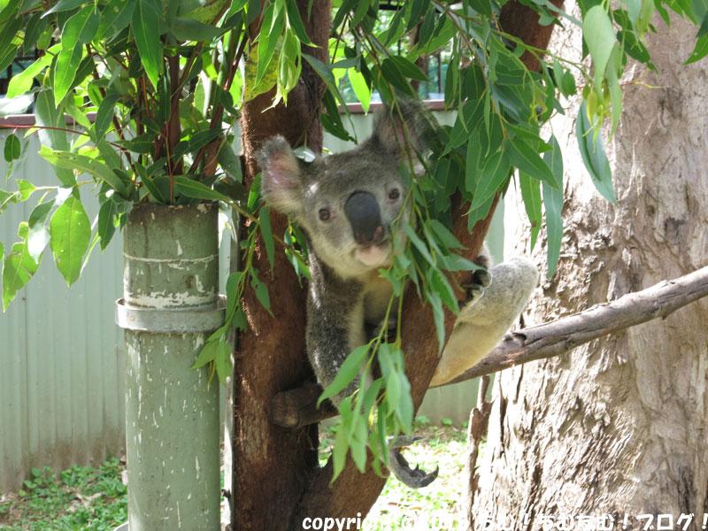 愛想のあるコアラ