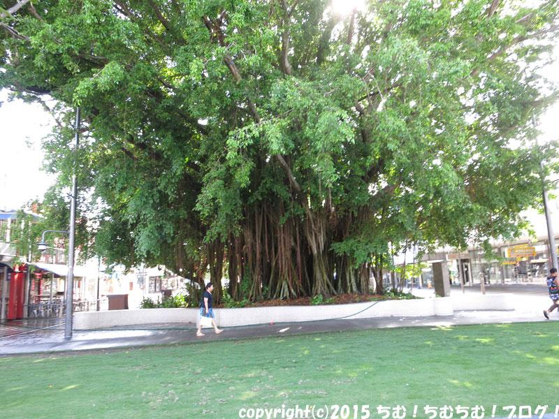 ケアンズの道の真ん中にある木