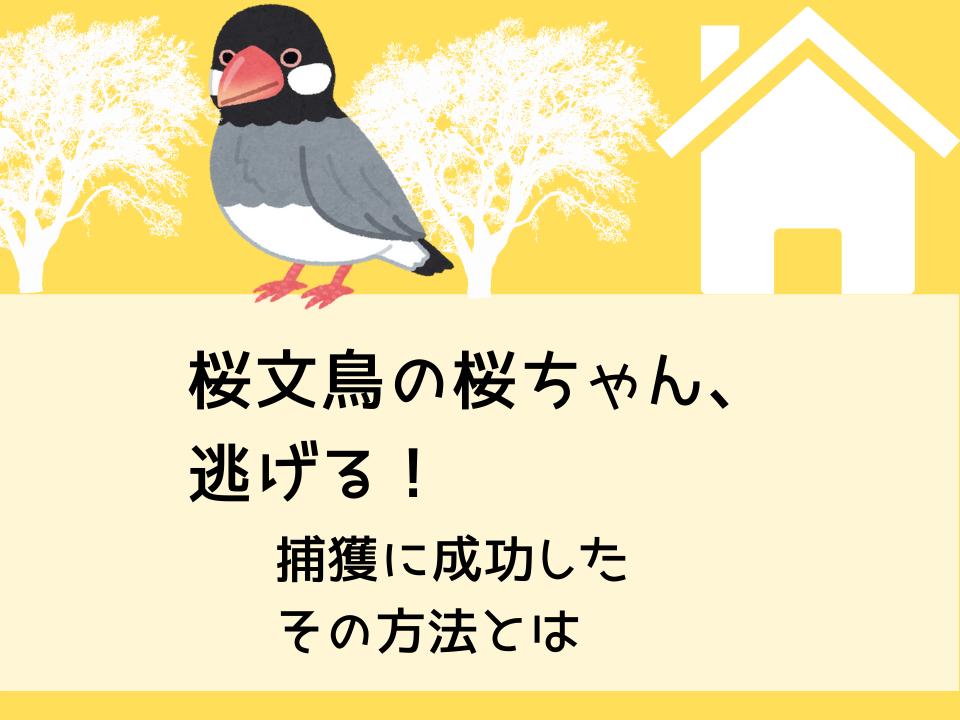桜文鳥の桜ちゃん逃げる!捕獲に成功したその方法とは