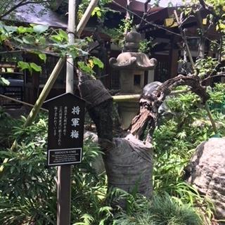 愛宕神社梅の木