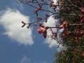 桜、咲き始め