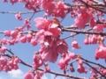 桜が青空に映える。