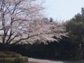 花見日和、桜がほぼ満開。