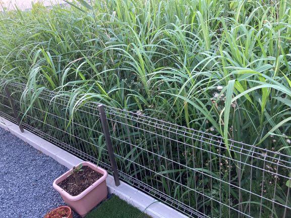 これから伸びる雑草