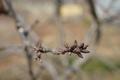 さくらんぼの冬芽