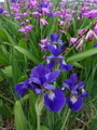 Gアイリスと紫蘭