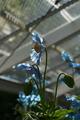 ヒマラヤの青いケシ・ガラス室